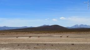 vicunas and lamas